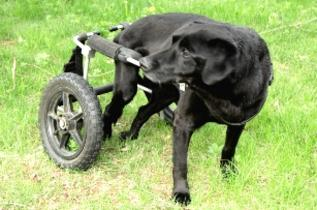 Special Needs Wheelchair Dog